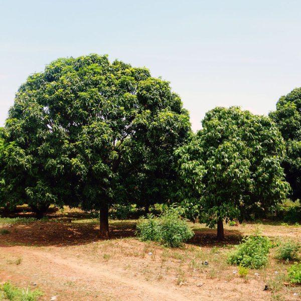 Mangobäume